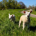Två lamm med norsk ull