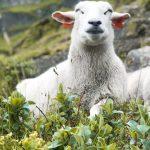 Njutande får