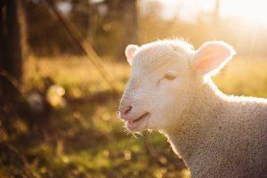 Fåren trivs bäst utomhus och där får de sin fantastiska ull. som vi sedan stickar lusekoftor och norska tröjor av